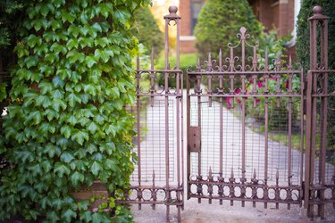 Ivy growing on an open gate