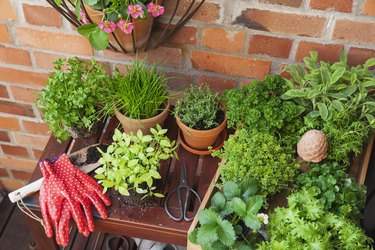 Various potted herbs.
