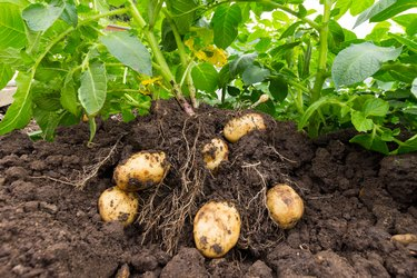 Close up of potatoes being lifted from soil