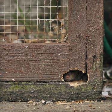 Rat peeking through hole.