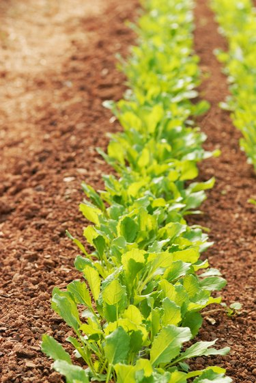 Patch of arugula growing in red clay soil