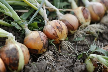 row of onions