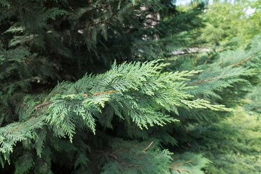 Close view of branch of Port Orford cedar
