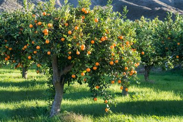 full tree of Oranges