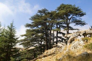 Cedar forest in Lebanon near Bcharre