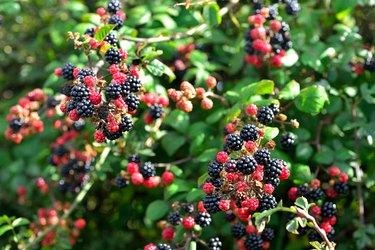 Black and Red Blackberries