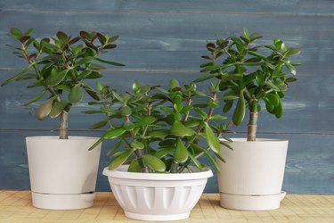 Succulent houseplant Crassula ovata in a pot on rustic background