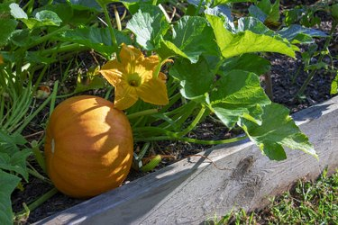 Close-up of a pumpkin plant, pumpkin, and yellow blossom growing in a raised bed garden.