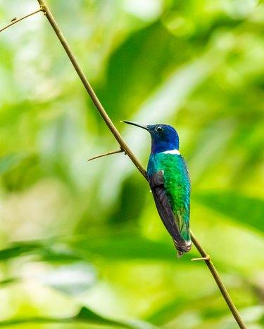 Male white-necked Jocabin hummingbird.