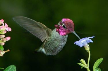 Male hummingbird visits blue flower