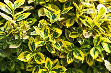 Fortune's spindle (Euonymus fortunei). Yellow and green leaves.