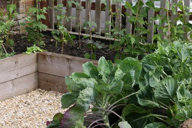 Image of traditional vegetable garden allotment crop in summer with timber raised beds border from wooden railway sleepers growing peas, runner beans with bamboo canes wigwams, baby lettuces, cabbage plants, Brussels sprouts and fresh herbs for cooking