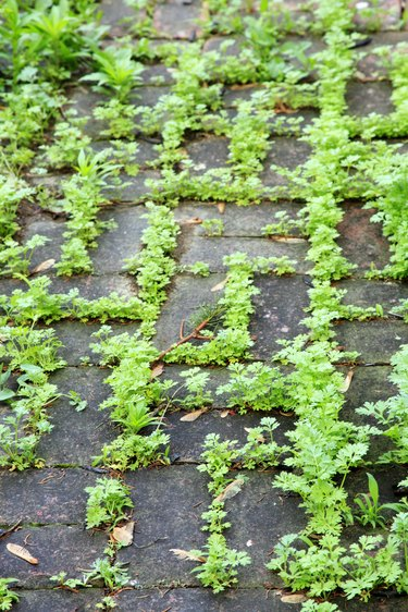 brick pathway covered by weeds