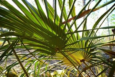 Backlit Saw palmetto fronds in prescribed burn area