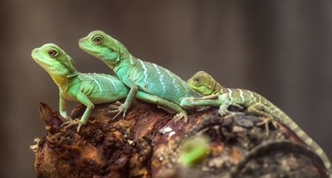 Lizard families together