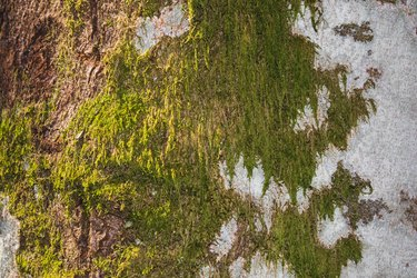 green moss on white birch tree bark