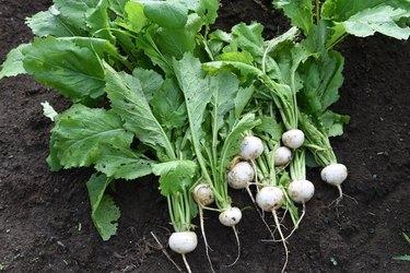 Turnip harvesting