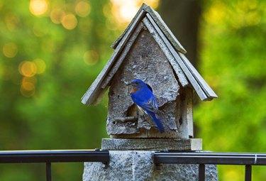 Eastern bluebird feeding young