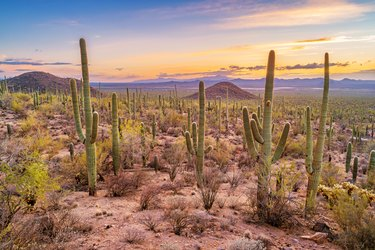 Saguaro cactus forest in Saguaro National Park Arizona