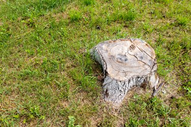 The stump of a large and old tree.