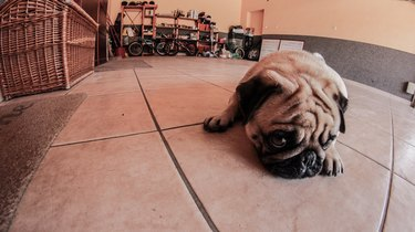 Portrait Of Pug Relaxing On Tiled Floor