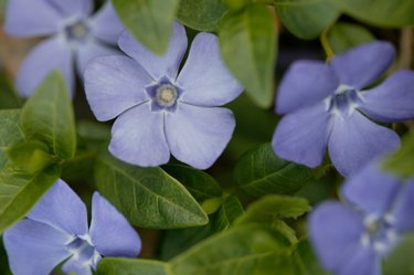 How Long Do Forget-Me-Nots Bloom?