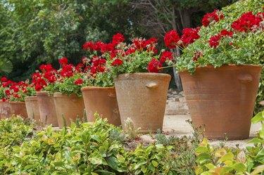 Geranium in tubs in the garden.