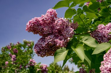 Lilac inflorescence, flowering branch of lilac on a bush.