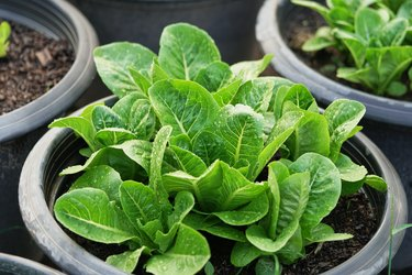Close up fresh salad leaves.