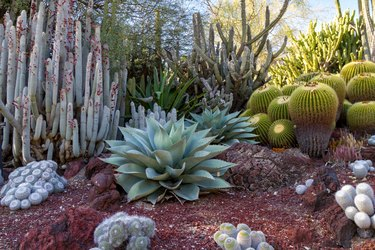 Amazing desert cactus garden with multiple types of cactus