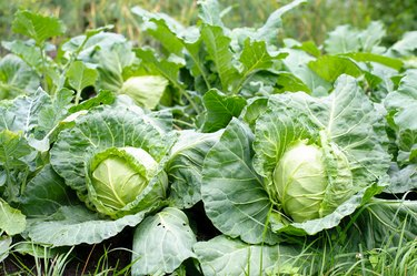 cabbage head growing on vegetable bed