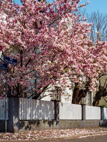 Stunning pink magnolias bloom in the gardens of Strasbourg. Huge delicate flowers. France