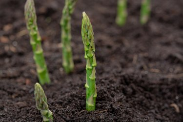 New harvest of green asparagus vegetable in spring season, green asparagus growing up from the ground on farm