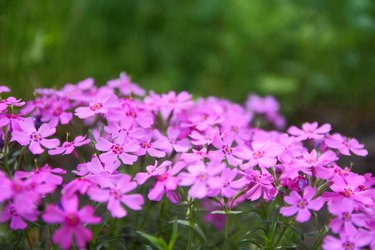 Flowering verbena in the spring garden, pattern with small pink flowers, pink verbena on a blurred background, blank for the designer, botanical garden, postcard on the holiday