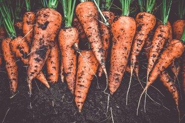 Homegrown fresh harvest of orange garden carrots