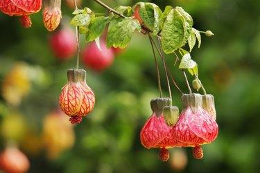 Abutilon Flowering Maple Tree Blossoms