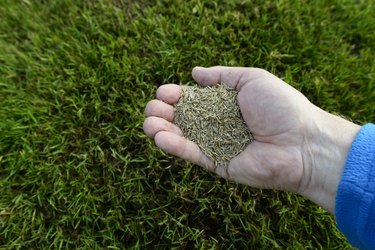 Grass seeds