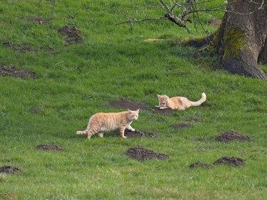Katzen jagen Maulwurf - Cats hunt mole