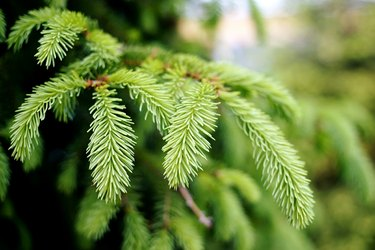Close-Up Of Spruce Tree Branch