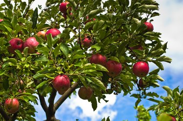 Closeup of a red apples on a tree at orchard
