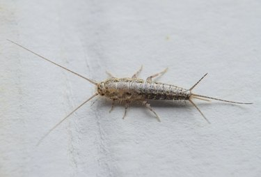 Insect feeding on paper - silverfish