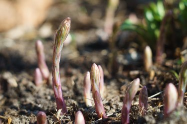 Young asparagus sprouts in the garden