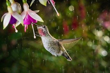 Hummingbird feeding from flowers in hanging basket.