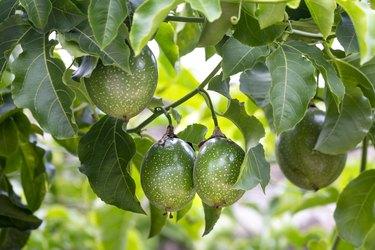 Fresh passion fruit on the tree, passion fruit farm