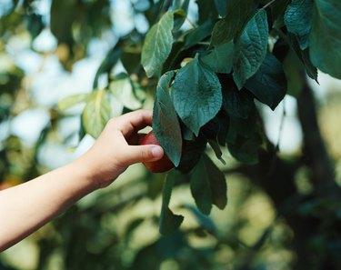 Child picking fruit