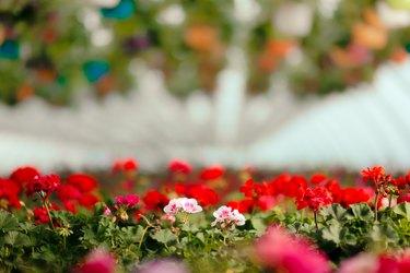 Beautiful Flower Greenhouse in Blooming Spring Season