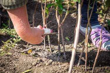 agriculture, the cultivation of fruit trees, a human hand a fruit transplanted kidney