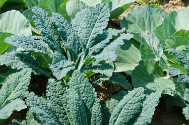 Kale and Cabbage Plants