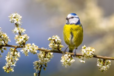 Blue tit in Hawthorn blossom