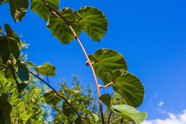 Green kiwi leaves on the vine, close up